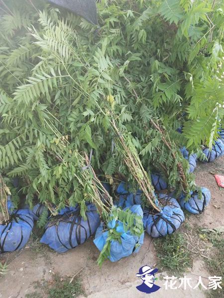 珍珠梅种子几月播种最好?
