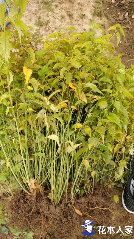 棣棠苗黄叶病和褐斑病的防治
