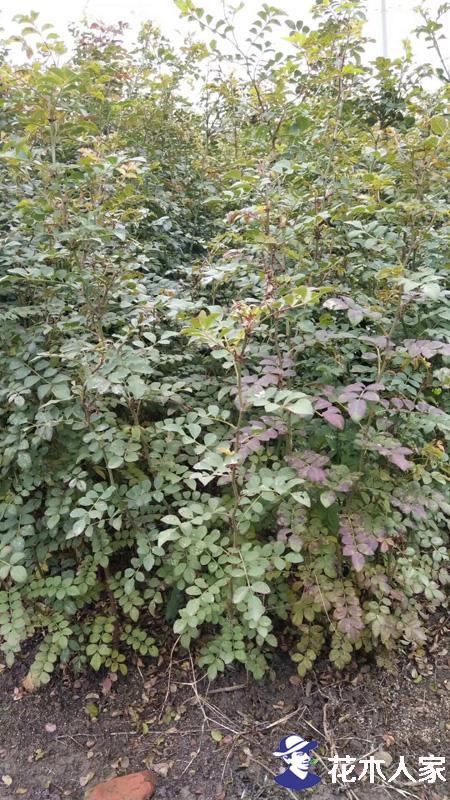 黄刺玫的特点与种植方法