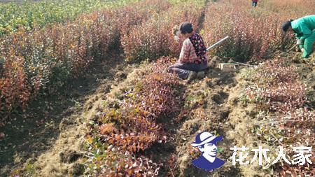 种植扶芳藤的方法