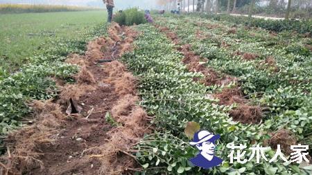 扶芳藤的繁栽种植技术