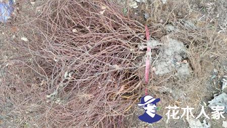 保定地区金焰'绣线菊价跌量不减 苗农利润薄