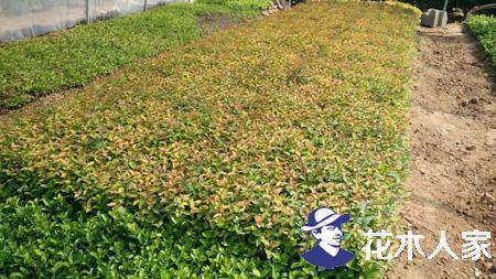 金焰绣线菊种植技术及修剪方法
