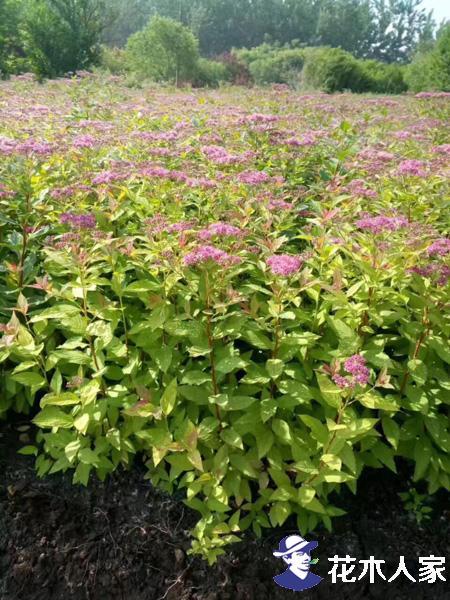 金焰绣线菊在园林中的观赏价值