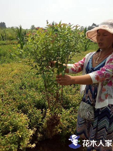 金焰绣线菊种植方法
