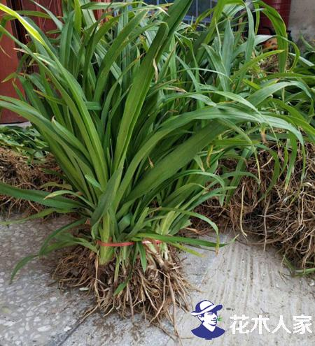 大花萱草种植管理方法
