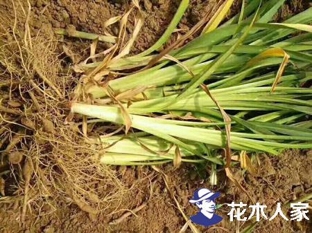 大花萱草种子分芽种子繁育方法
