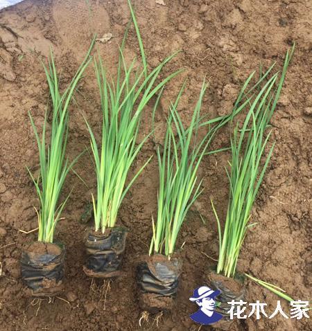 马莲种子种植技术