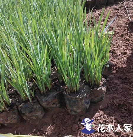 马莲种植管理方法介绍