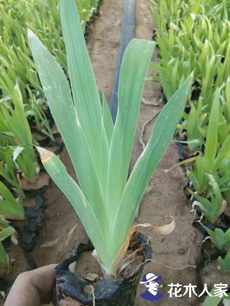 鸢尾花的生长习性和种植方法