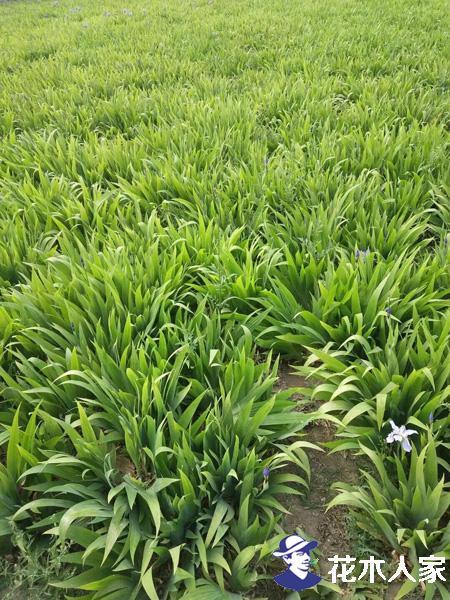鸢尾园林用途及种植养护方法