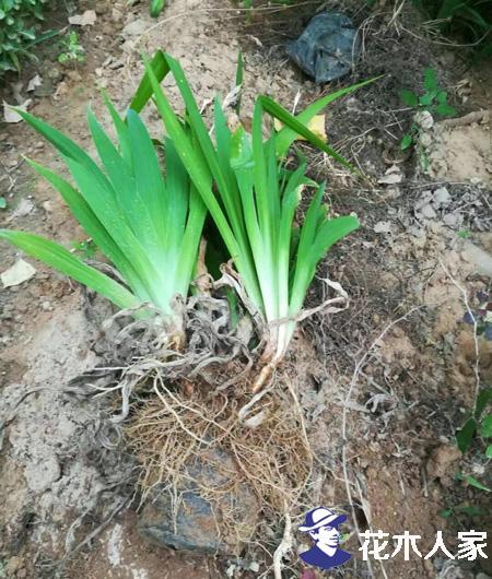 鸢尾花怎么养?鸢尾花的种植方法及注意事项
