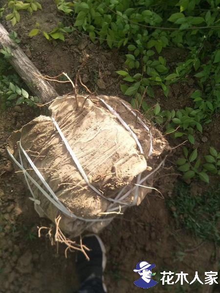 容器苗金叶榆图片