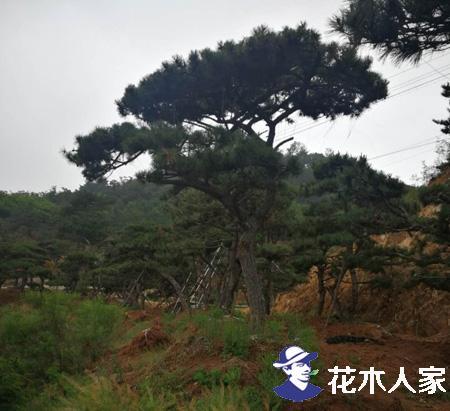 景观松(造型松)图片照片