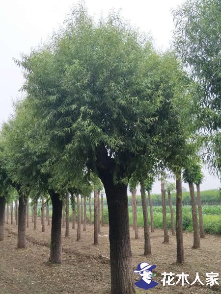 馒头柳种植繁殖方法