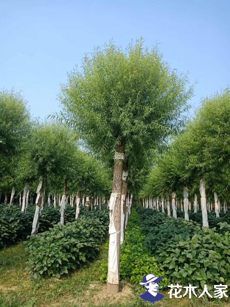馒头柳扦插种植方法
