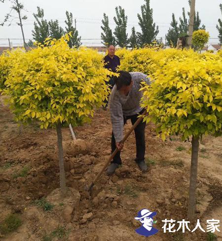 金叶榆和金叶垂榆在园林中的使用效果