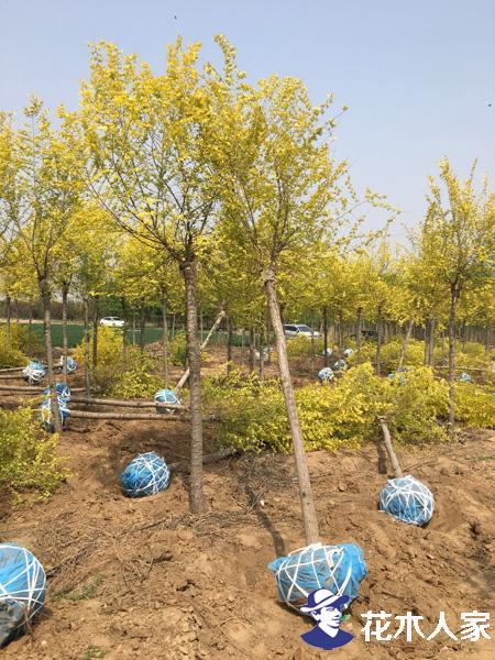 彩叶品种金叶榆未来前景何在