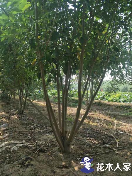 丛生白蜡苗木照片