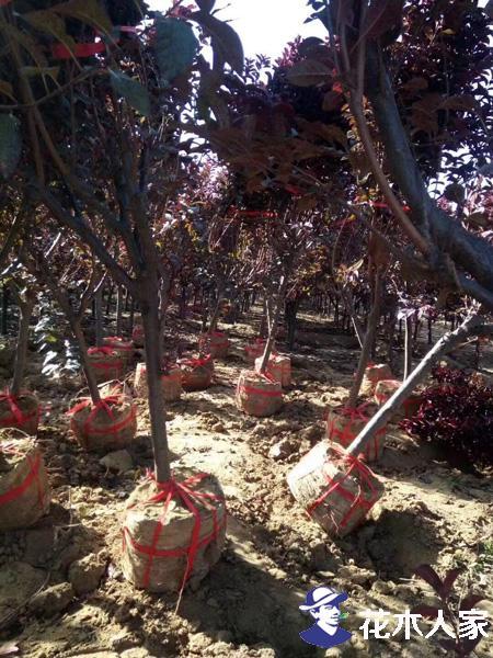 苗圃或绿化施工单位非季节种植容器苗木可能吗?