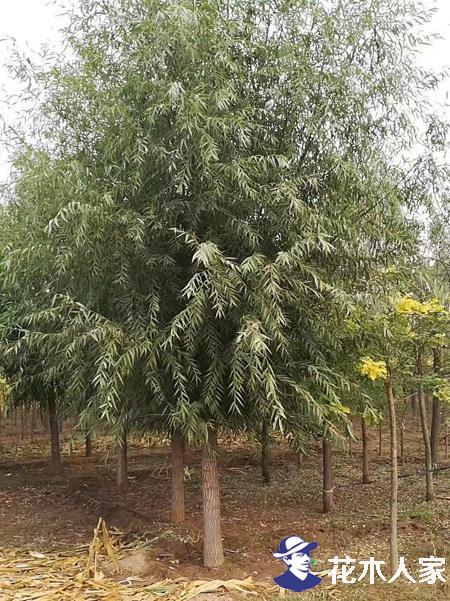 绿化工程工地购买旱柳需要注意的问题