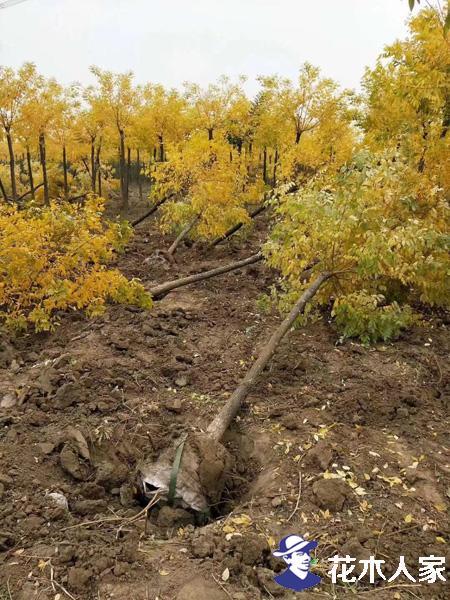 秋冬季远距离调运苗木,如何保证苗木成活率?
