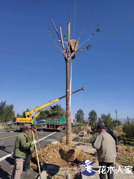 苗木全冠半冠移植方法与流程提高成活率