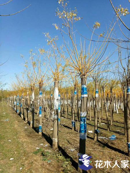秋季苗木人不要只顾销售 苗木养护管理不能疏忽