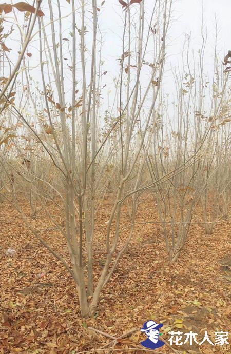 丛生多杆白蜡树