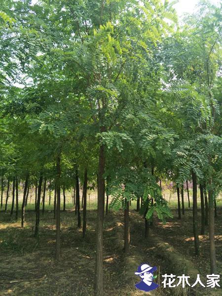 常见刺槐树,洋槐都有什么缺点呢?