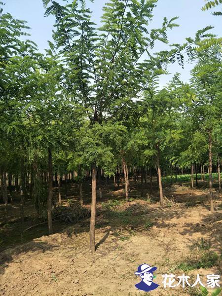 刺槐怎么种植?几月份种植最好?