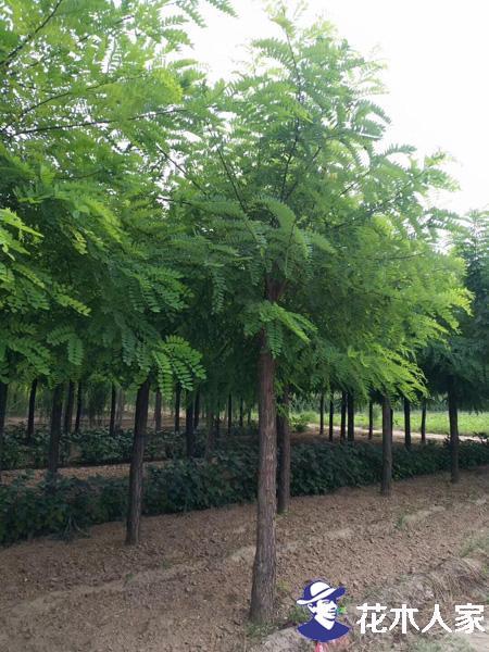 刺槐种植株行距,好种植吗?