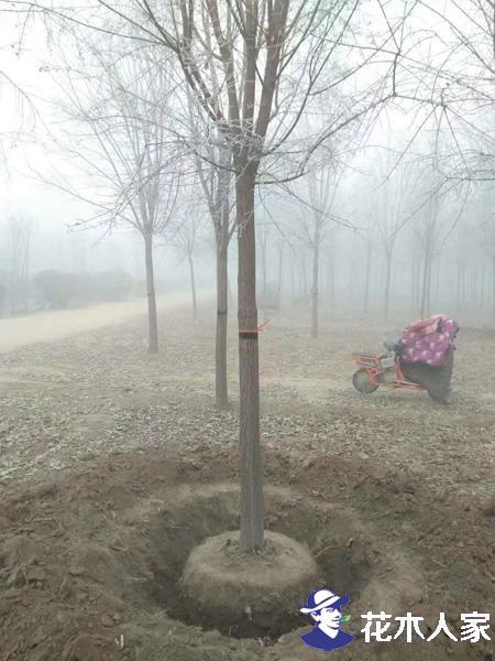 种植丝棉木太多 以后如何更好的发展