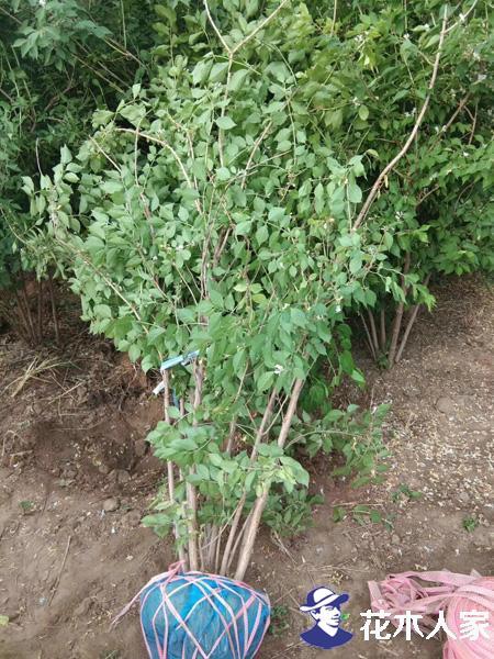 金银木种植方法及园林用途