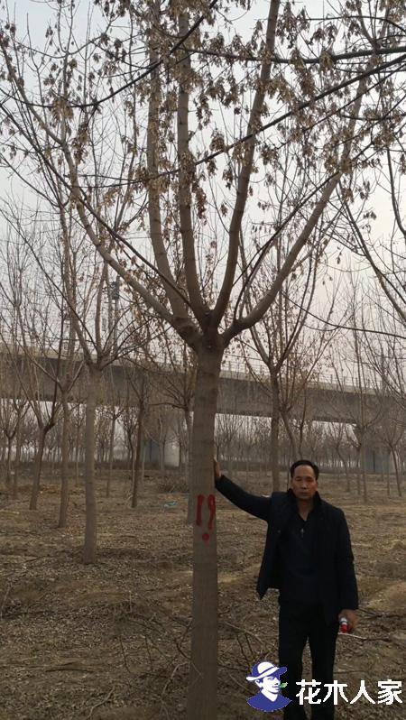 复叶槭照片