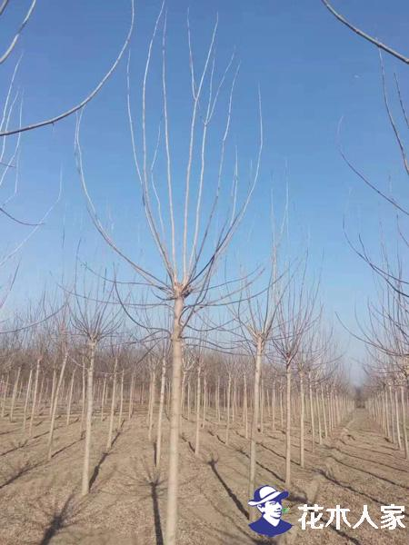 复叶槭育苗技术