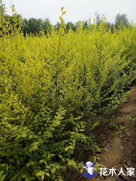 金叶榆是乔木还是灌木?