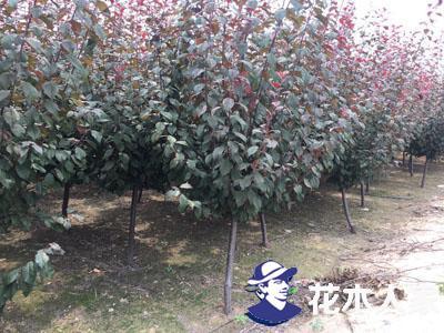 红叶李可以种院子么,什么时候种植
