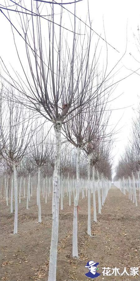丝棉木可以大面积种植吗