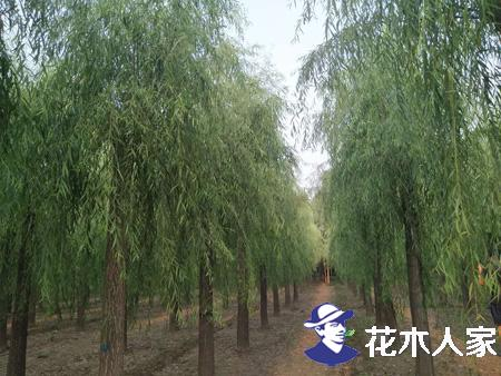 旱柳树有哪些种类