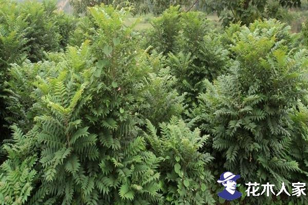 香椿应该选择什么时候种植最合适