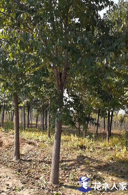 杜仲树如何扦插才能更好的提高存活率