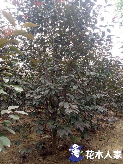 红宝石海棠冬季应该如何养护才能避免大量死亡