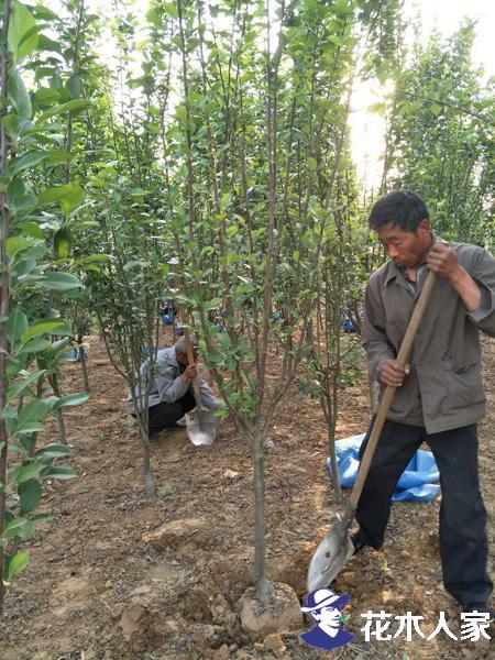 西府海棠适合在家里种植吗?在家里种植有什么好处