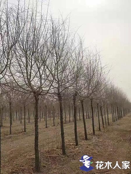 金叶榆可以在南方种植吗?