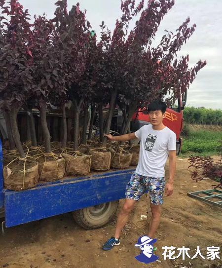 红叶李种植时对于环境有哪些要求