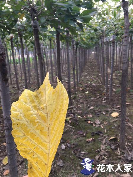 裂叶榆哪里有卖的