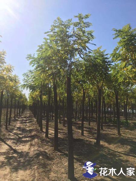 红花刺槐种植注意事项是什么
