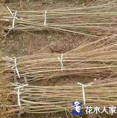 金叶榆的养护要点是什么