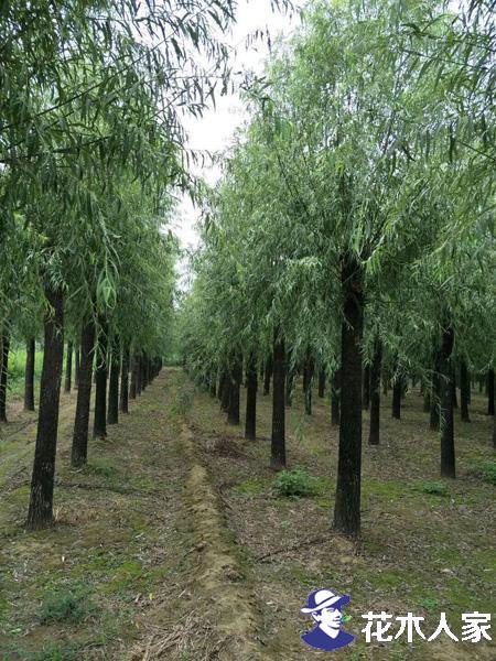 国内旱柳树苗价格行情,多少钱一棵